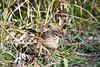 Palm Warbler 2 Sep 16 2020