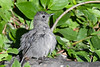 Gray Catbird juvenile 27 Jul 2019