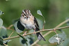 Grasshopper Sparrow July 29 2018