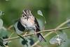 Grasshopper Sparrow July 29 2018