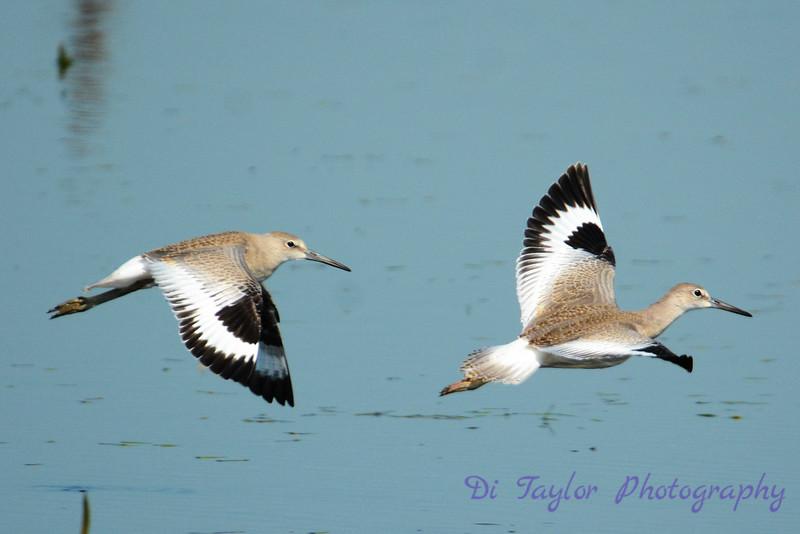 Western Willet pair in flight