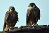 2 juevenile peregrine falcons