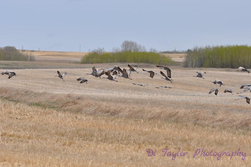 Sandhill cranes in spring, Saskatchewan