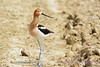 American Avocet standing on road