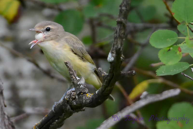 Philadelphia Vireo trying to swallow berry