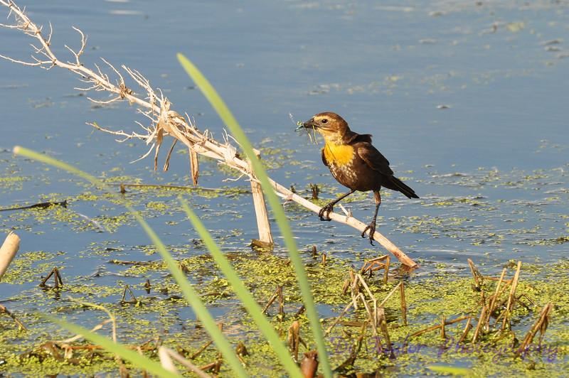 Femaile Yellow-headed blackbird
