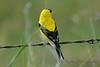 American Goldfinch 2  8 July 2017
