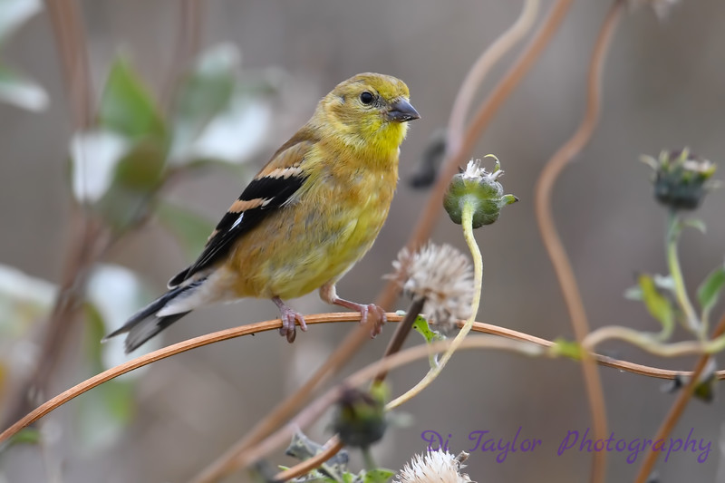 American Goldfinch juvenile Sep 15 2018