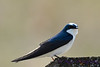 Tree Swallow 2 May 7 2017