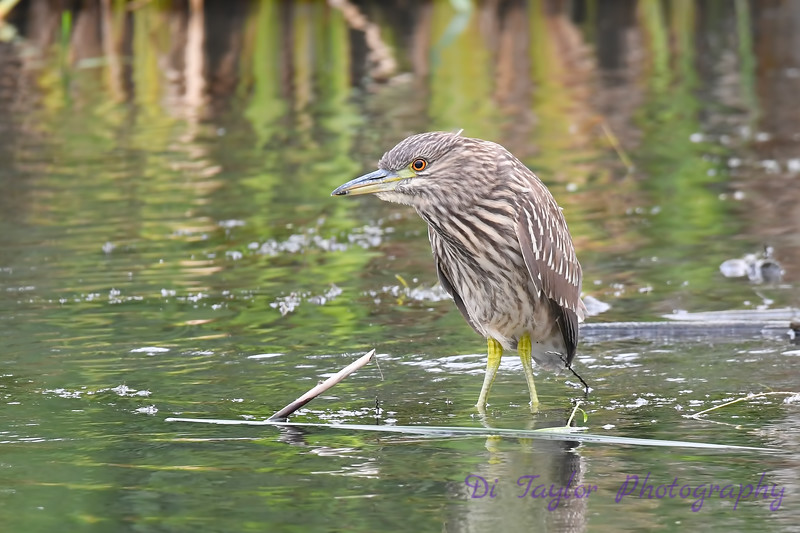 Black Crowned Night Heron juvenile Aug 25 2018