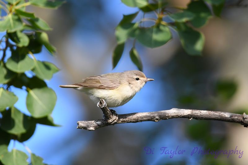 Warbling Vireo parent 2  21 Jul 2019
