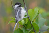 Chickadee 2  28 July 2017