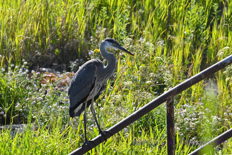 Great Blue Heron 15 Aug 2 2020