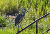 Great Blue Heron 15 Aug 2 2020