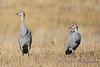 Adolescent Sandhill Cranes