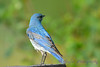 Mountain Bluebird male 28 Jul 2017