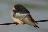 Baby Barn Swallow