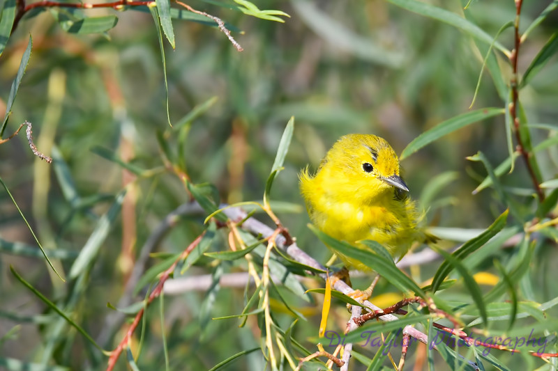 Yellow Warbler 5 Aug 7 2018