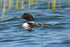 Common Loon 4  Aug 26 2017