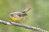 Common Yellowthroat Aug 18 2018