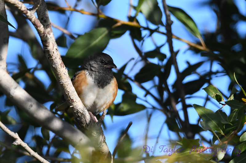 Spotted Towhee 2 Sep 16 2020