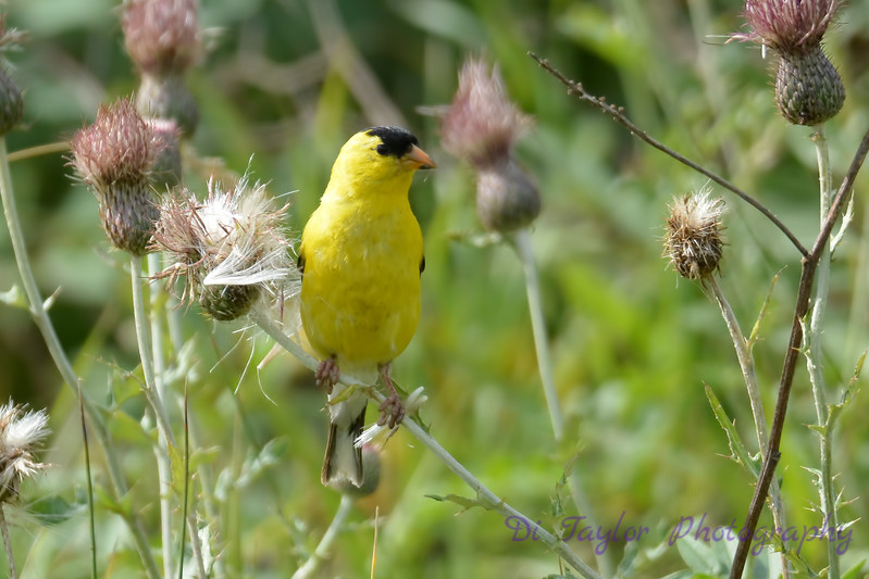 American Goldfinch male  2  14 Aug 2017