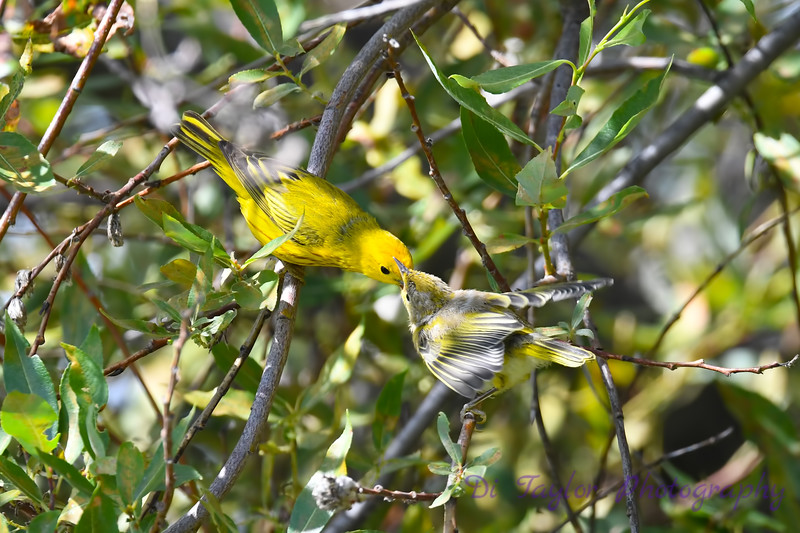 Yellow Warbler male feeding baby