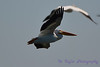 American White Pelican in flight Aug 26 2017