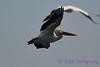 American White Pelican in flight Aug 26 2017