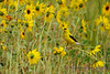 Goldfinch in Daisies