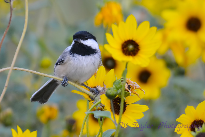 Chickadee in Daisies Aug 17 2017