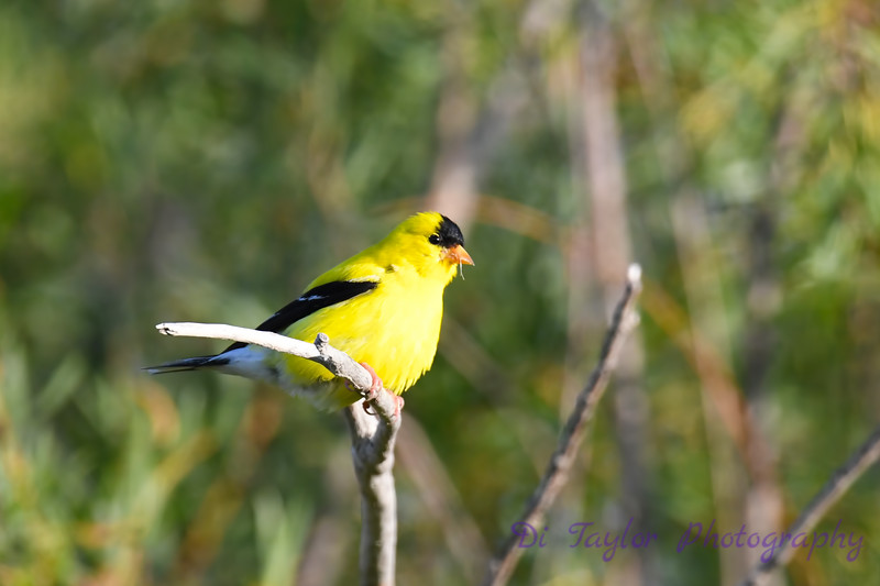 American Goldfinch male 22 Jul 2019
