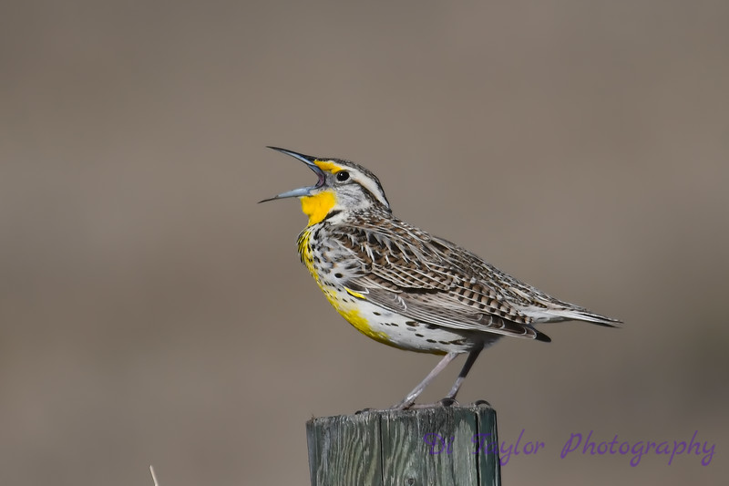Meadowlark 6  28 April 2018