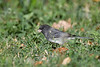 Dark eyed Junco 4 Sep 25 2020