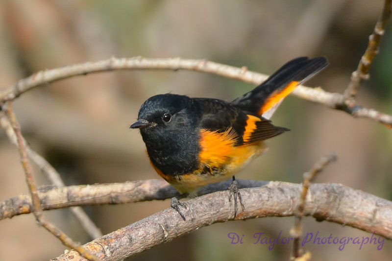 American Redstart male Sep 10 2017