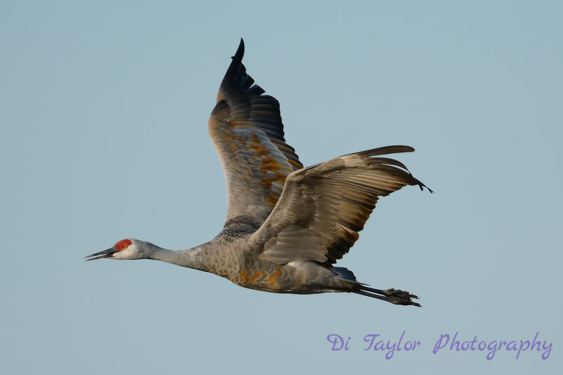Sandhill Crane in flight 5