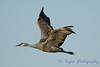 Sandhill Crane in flight 5
