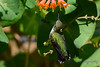 Ruby Throated Hummingbird in Honeysuckle Trumpet Vine 61