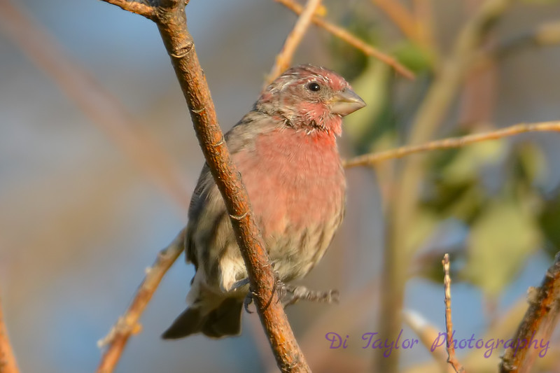 House Finch 2 Aug 31 2017