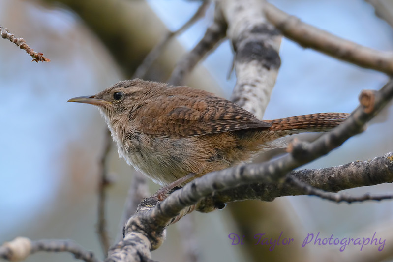 Winter Wren 2  28 Jul 2017