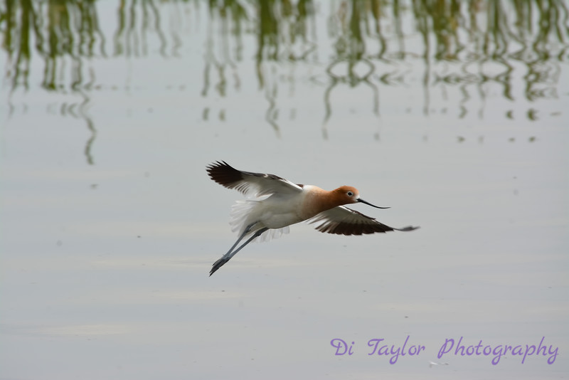 American Avocet flying 2