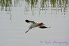 American Avocet flying 2