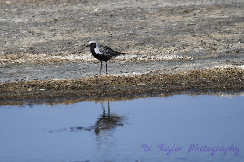 Black Bellied Plover 30 May 2019