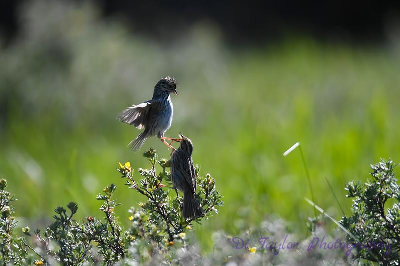 Savannah Sparrow courtship 3 June 26 2018