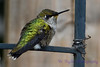 Young Male Hummingbird sitting on trellis