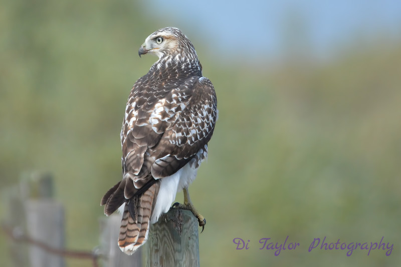 Swainson Hawk juvenile Sep 2 2017