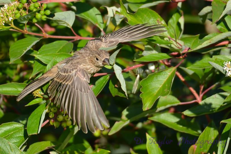 House Finch female Aug 21 2017