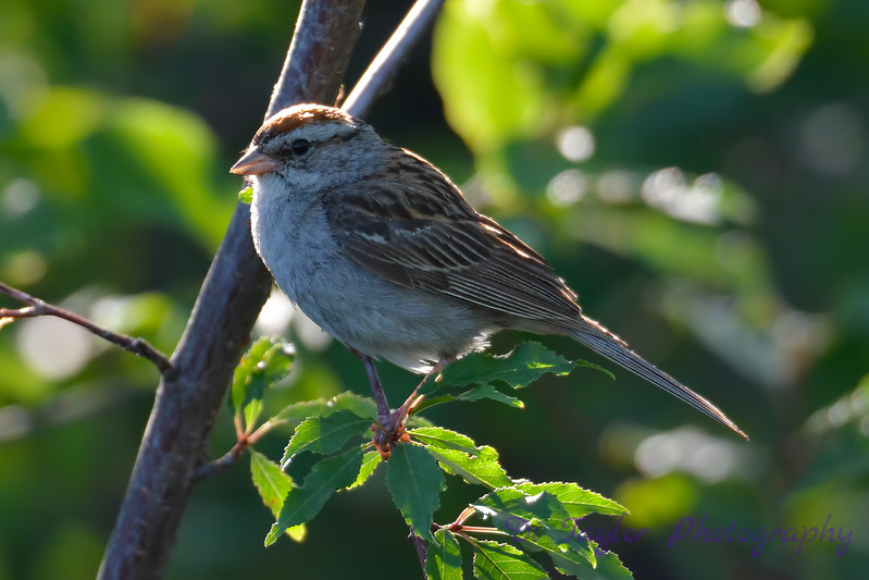 Chipping Sparrow 13 Aug 2017
