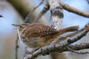 Winter Wren 3  28 Jul 2017