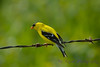 American Goldfinch male on barbed wire